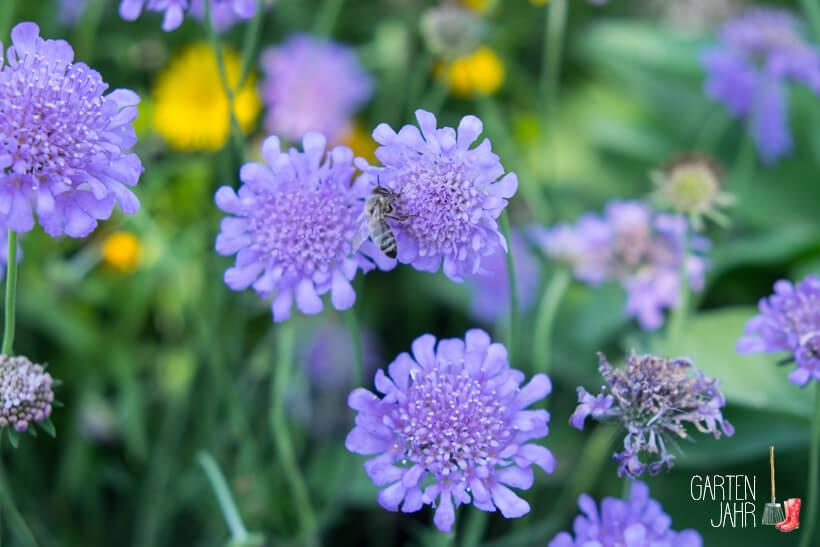 Bienenweiden im Juni - Skabiose / Witwenblume