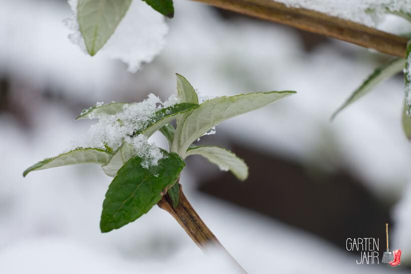 Schmetterlingsstrauch - Buddleja im Winter