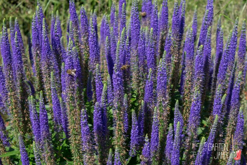 Ähriger Ehrenpreis - Veronica spicata - Bienenweide im Juni