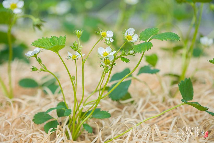 Junge Erdbeerpflanze mit Blüten