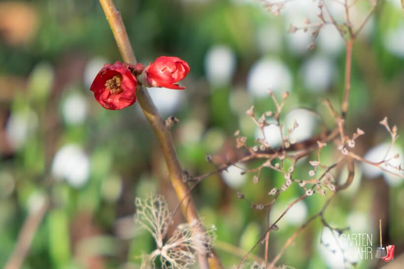 Zierquitte mit Blüte im Januar