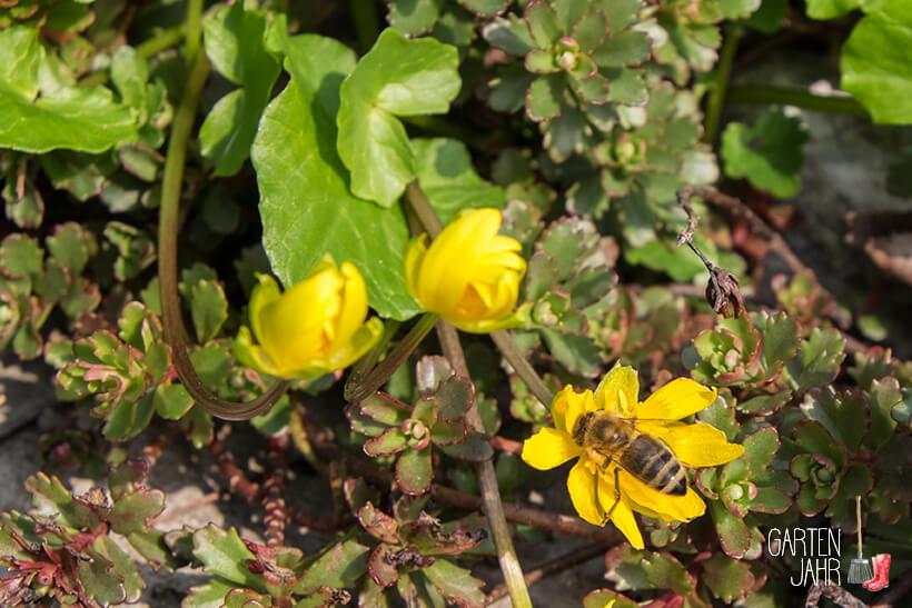 Wildbiene besucht die Blüte des Scharbockskrauts
