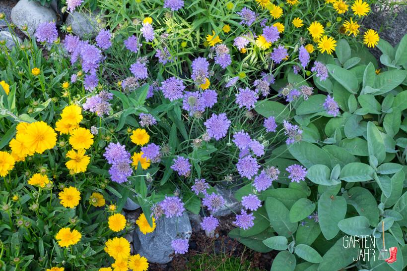 Skabiose -Witwenblume - Bienenweide im Juni
