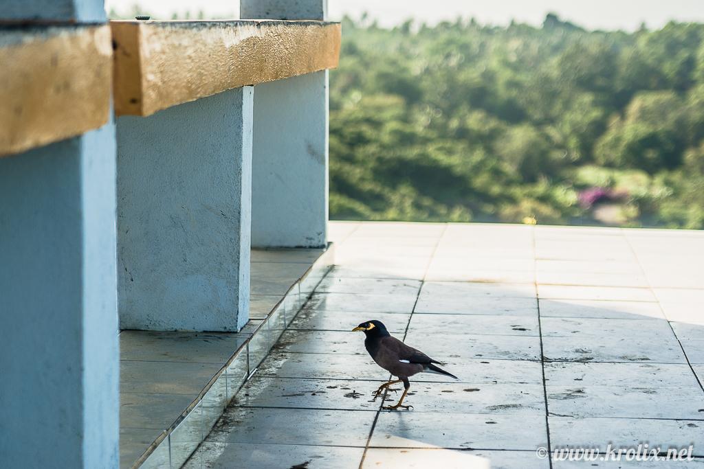 ...и птицы. 5 минут гуглил по фото, что за зверь. Оказывается, это майна из семейства скворцовых :)