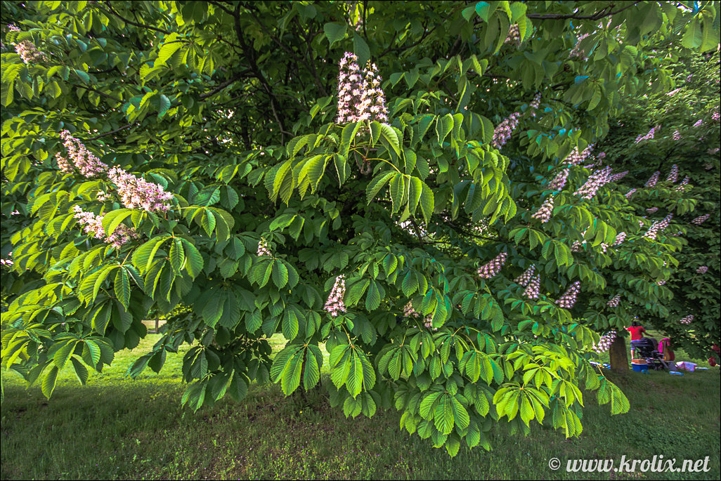 1. В северном парке цветут каштаны...