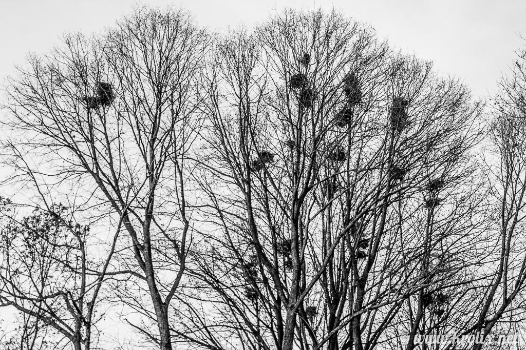 9. Вся листва облетела. На деревьях остались только гнёзда.