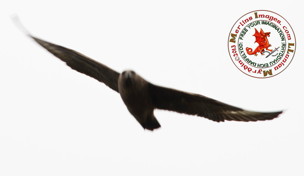 Protective Great Skua Attacks
