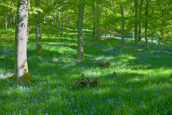 BVluebell Wood 2