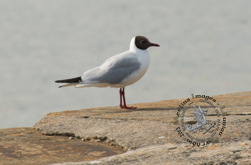 Black headed Gull adult