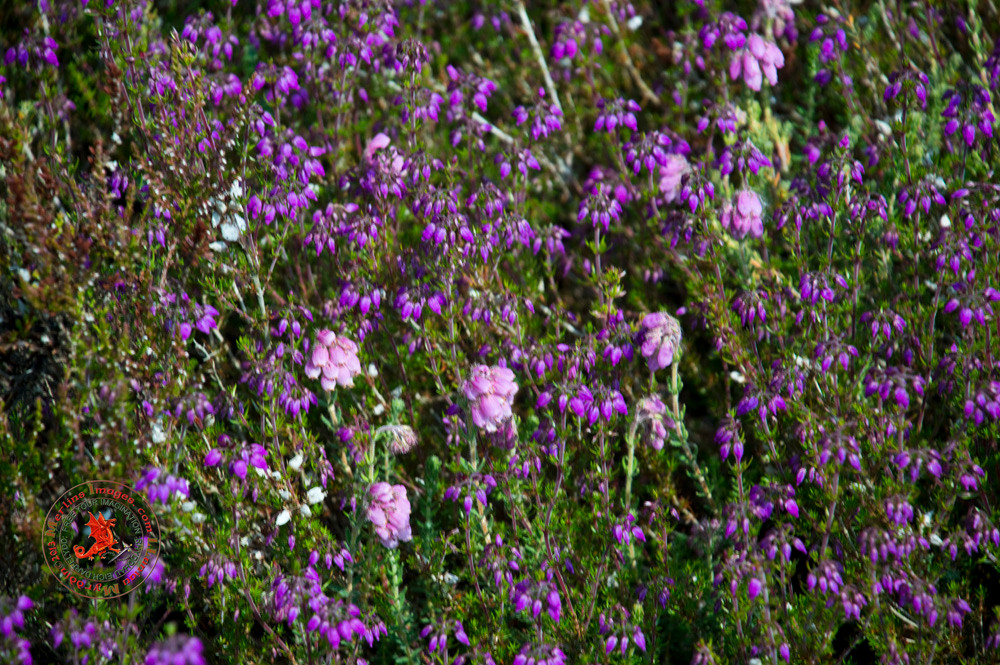 Bell and Ling Heather