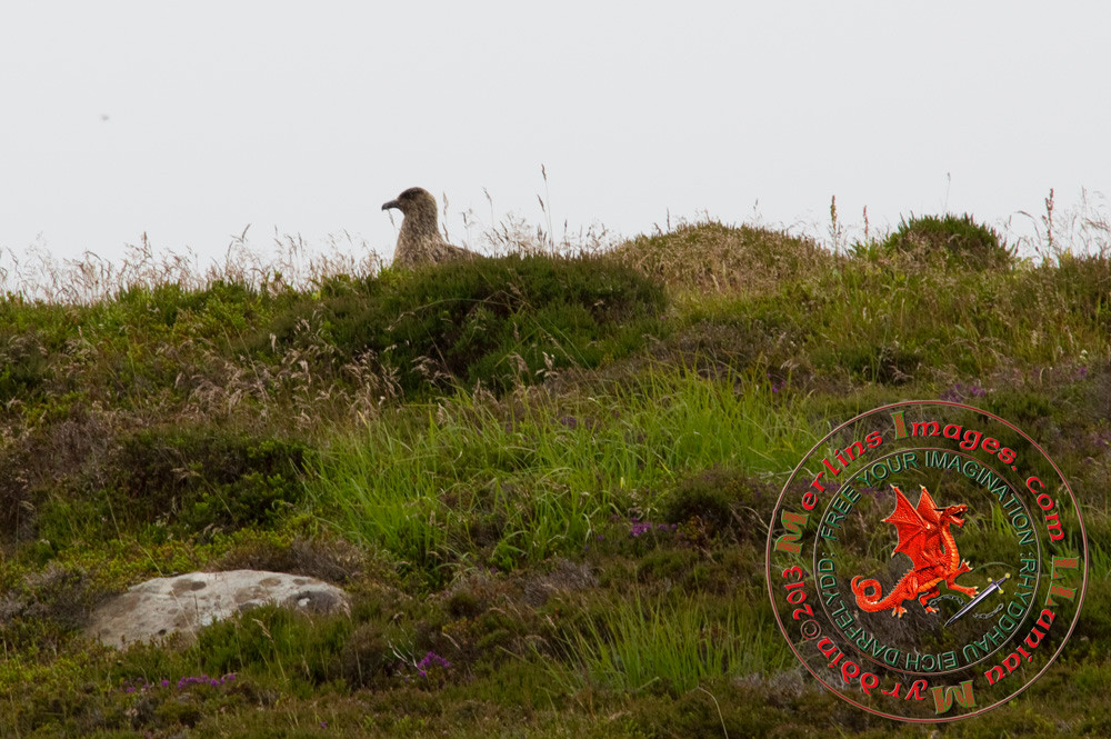Great Skua juvenile