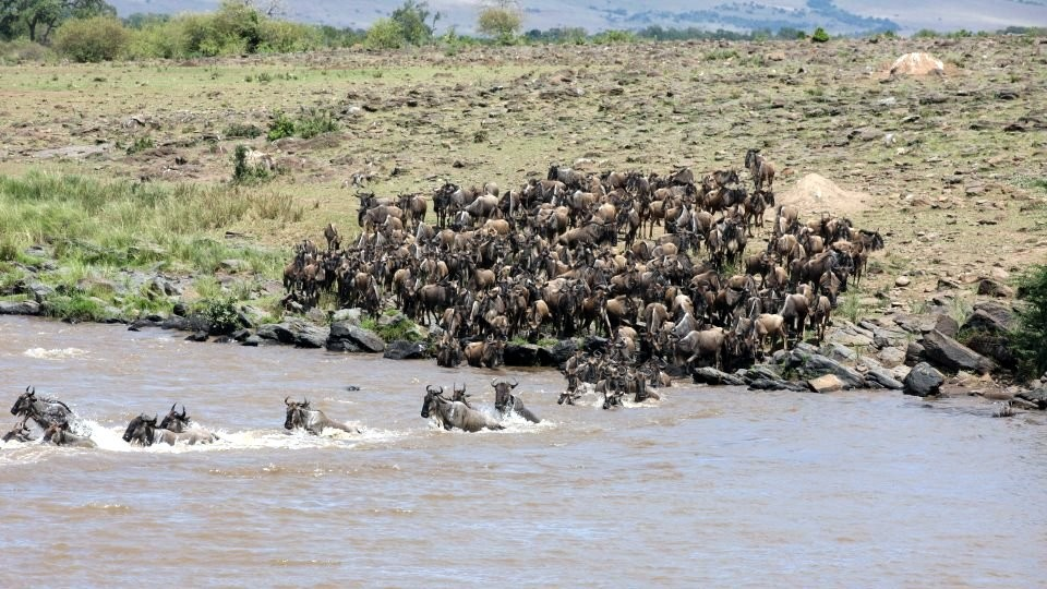 Gnus passing Mara River