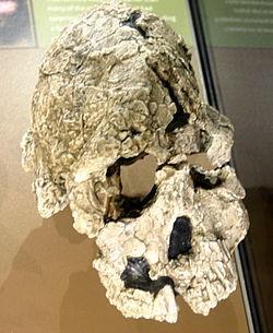 Kenyanthropus playtops (uomo del Kenya dal volto piatto).