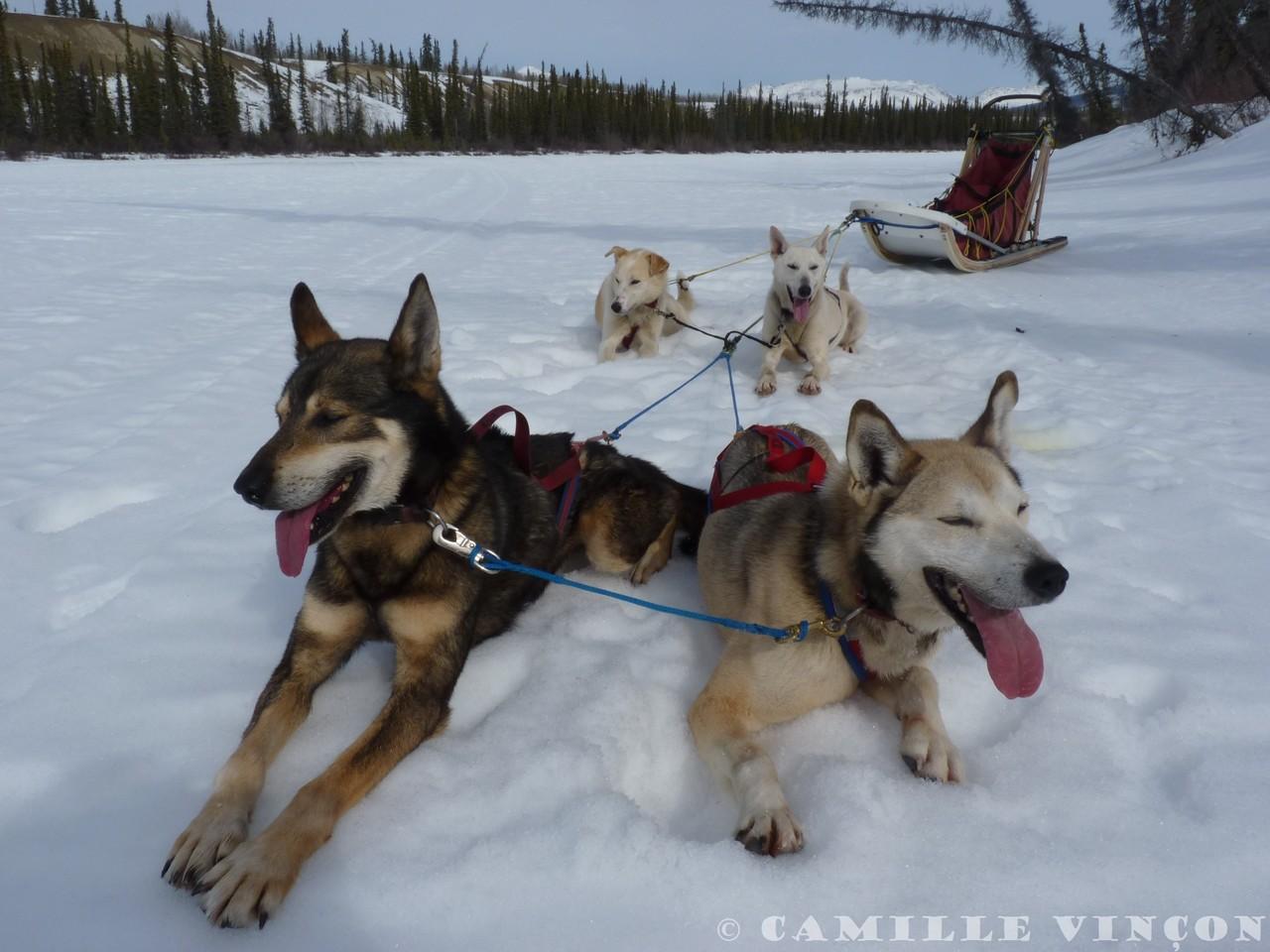 Petite pause pour reprendre son souffle, mais les chiens réclament vite pour reprendre la route. Courir est leur passe-temps favori.