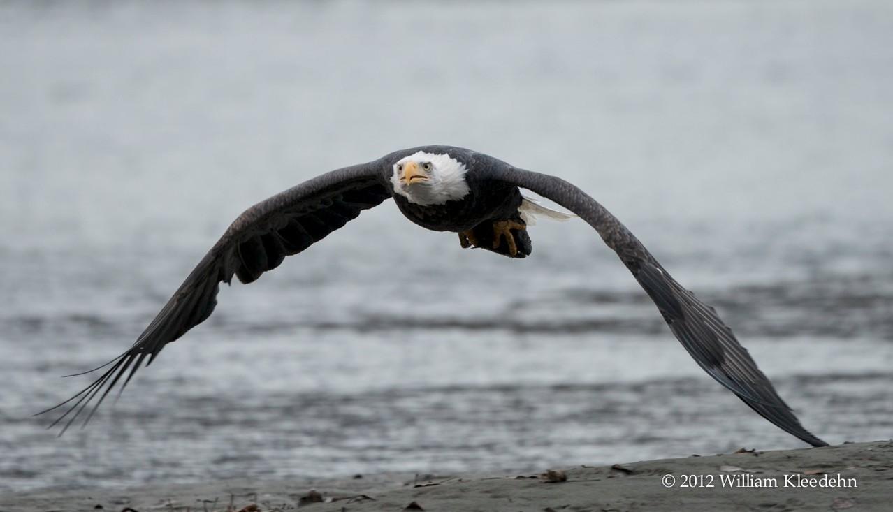 Spectacle majestueux que d'admirer l'Aigle Royal, qui se laisse observer très régulièrement à l'ouest du Canada.