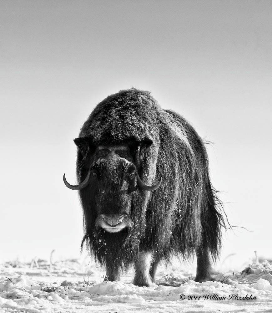 Les bisons sont nombreux au Yukon, tout comme les ours, orignaux, cerfs, loups et chevaux sauvages.