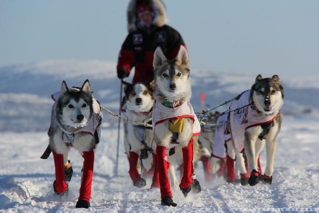 Nés pour courir, les Huskies d'Alaska peuvent parcourir plusieurs dizaines de kilomètres par jour.