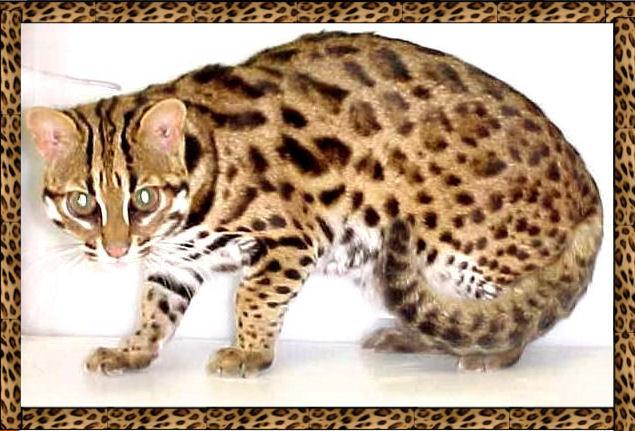Asiatische Leopardenkatze (Quelle: http://www.nitewindes.com)
