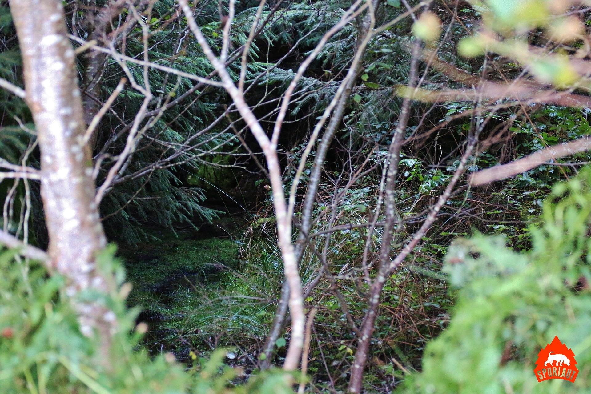 Im dichten Unterwuchs sind die Sikas schwer zu finden