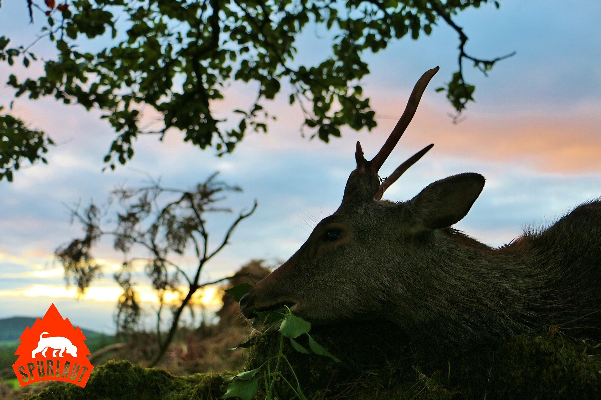 Erfüllte Träume: Sika Hirsche in Irland