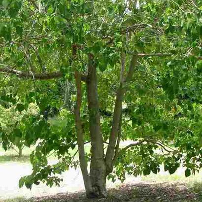 Echtholz von FSC-zertifizierten Plantagen