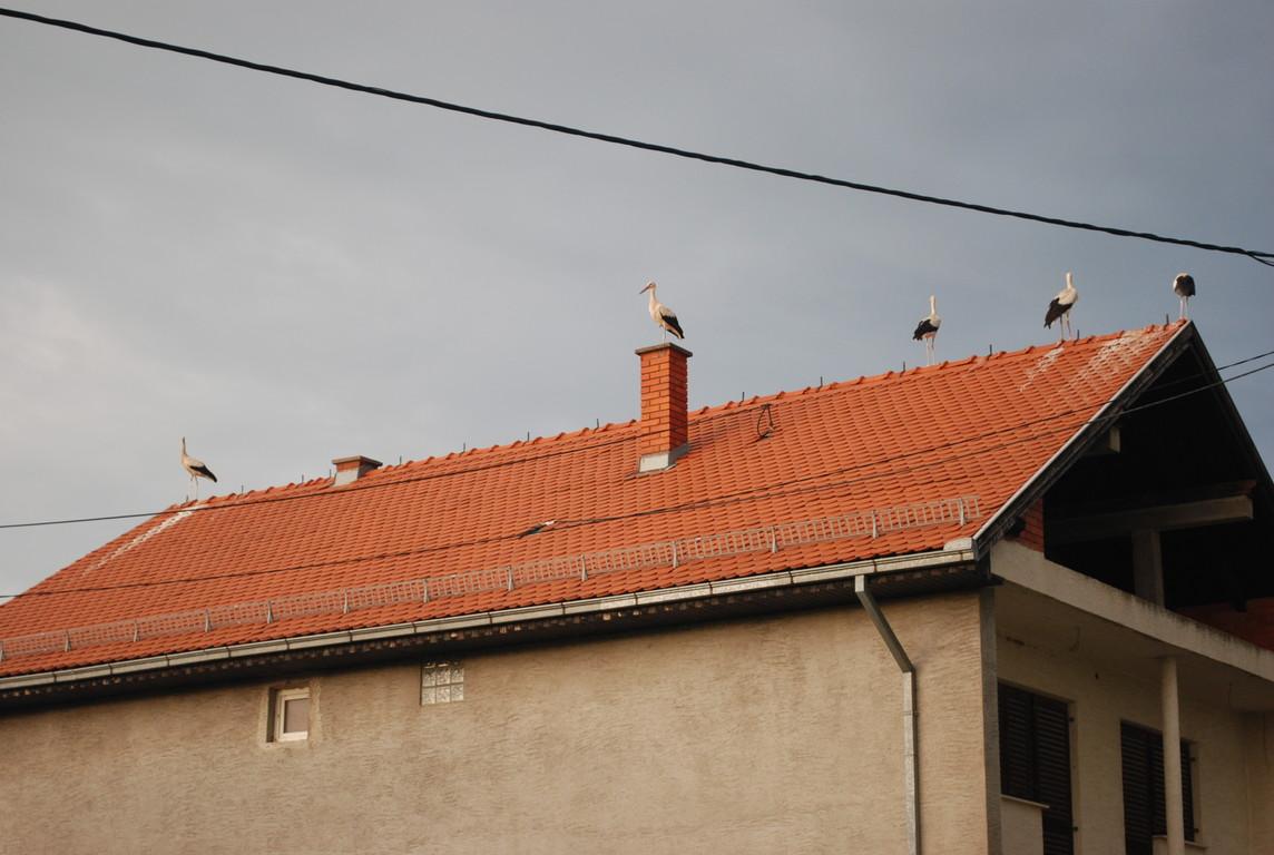 des cigognes, des dizaines de cigognes qui comme nous font étape pour un soir à Velika Kopanica
