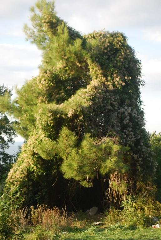 un pin et son parasite cotonneux