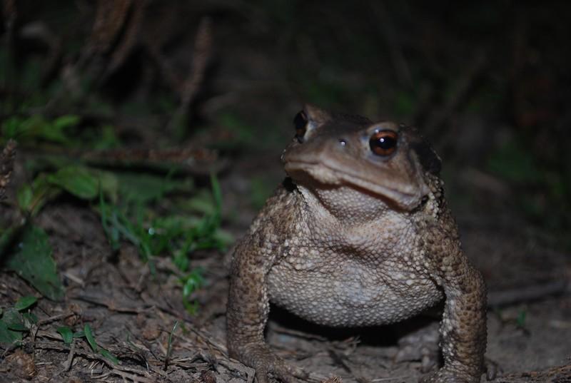 kurbağası, mon pote le crapaud, avant de planter la tente