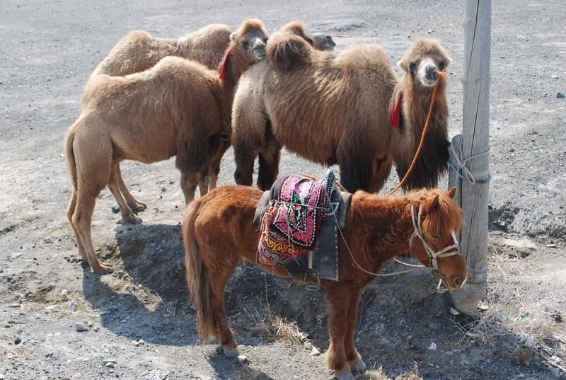 insoutenable regard du chameau