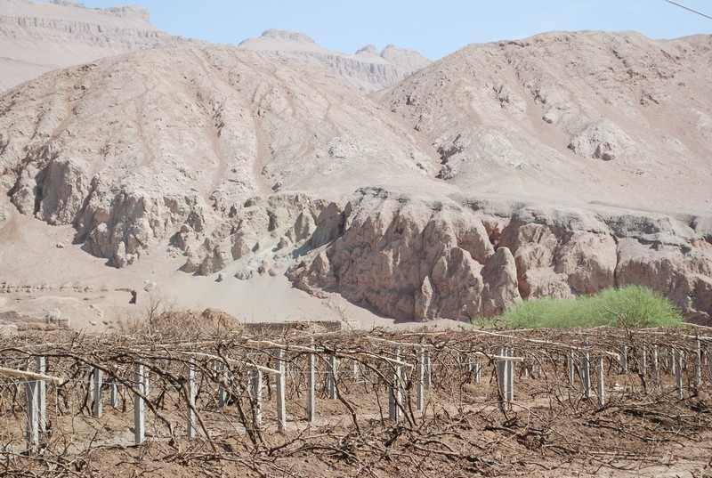 les vignes au desert