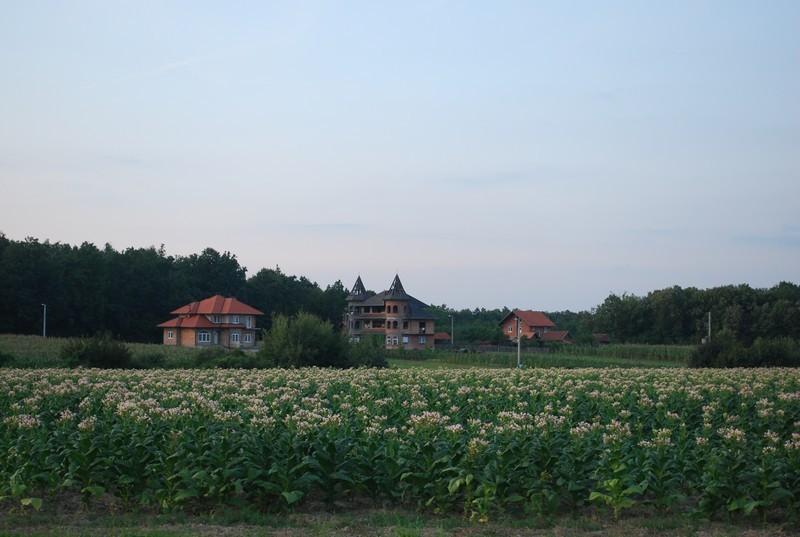 champs de tabac