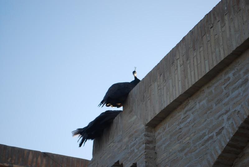 des paons sur les toits