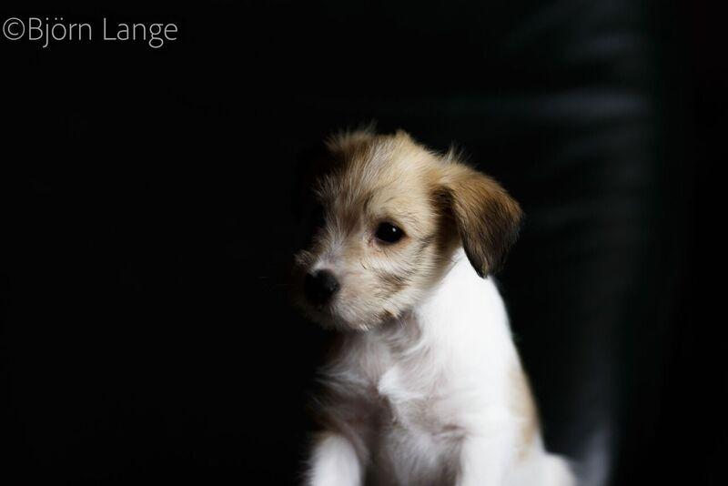 Charming Dexter 8 Wochen alt