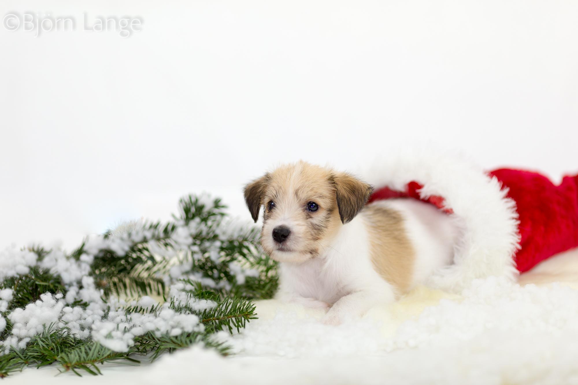 Charming Dexter 6 Wochen alt