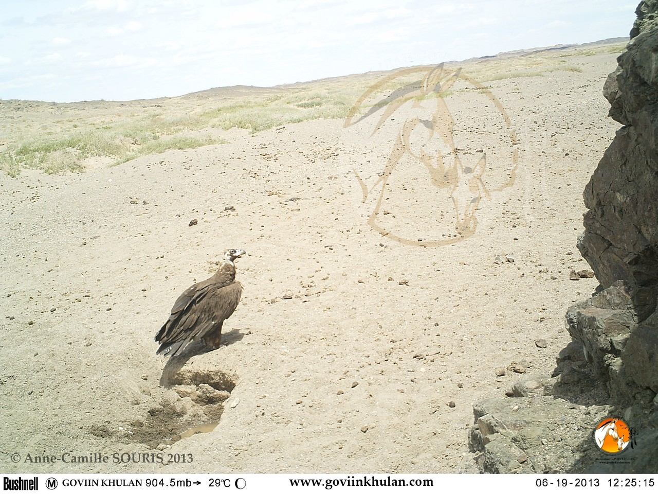 Vulture near a hole dug by a khulan at a dry river bed / Gobi, Mongolia / June 2013