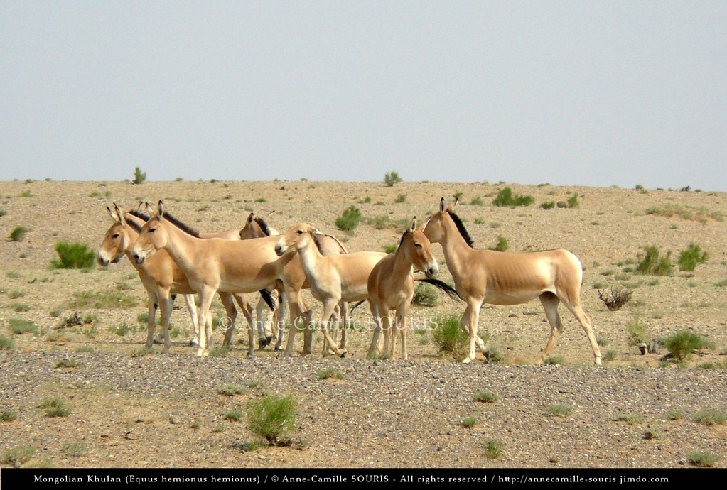 N2008-1 / Group of females observed close to a dry river bed