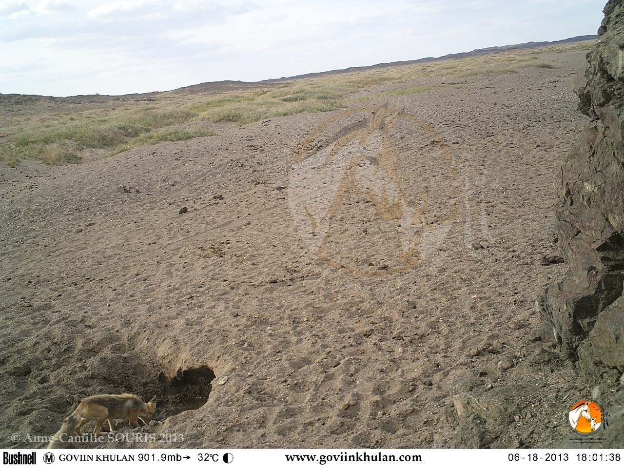 Corsac fox drinking at a hole dug by a khulan at a dry river bed / Gobi, Mongolia / June 2013