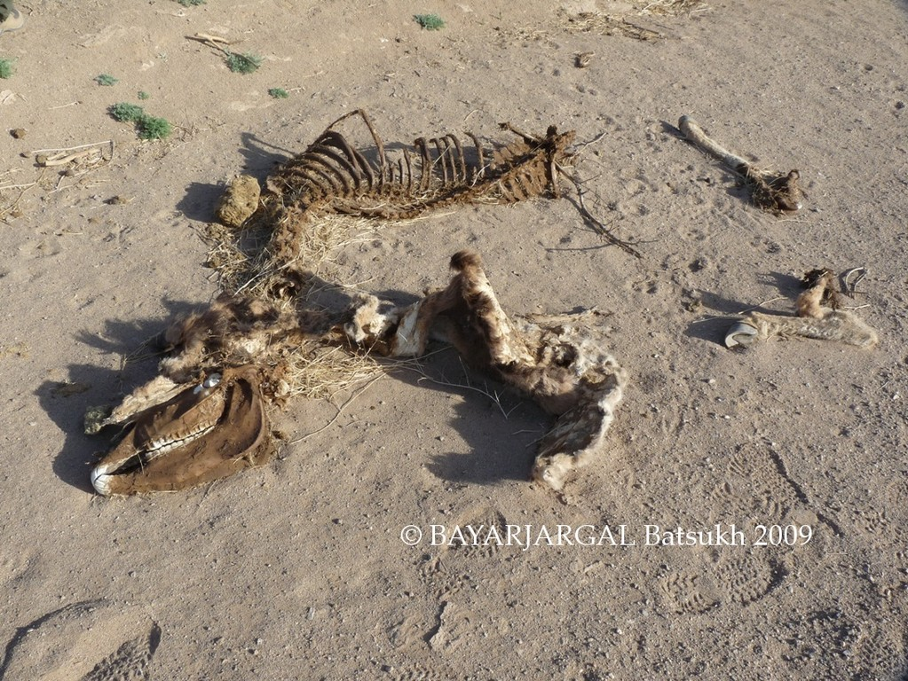 Photo 6: dead wild ass found near traps by Mr. BAYARJARGAL Batsukh