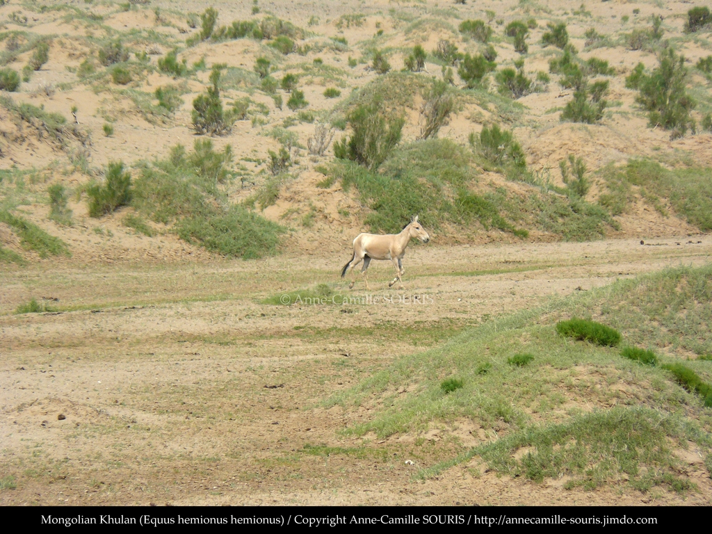 N2008-12 - Stallion crossing a dry river bed to join a group on the other side