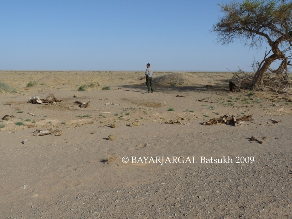 Photo 5: traps and dead wild asses found by Mr. BAYARJARGAL Batsukh