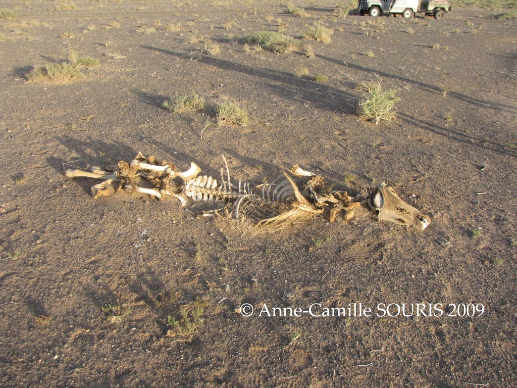 Photo 3: dead wild ass killed, found by A-C Souris and her team in 2009