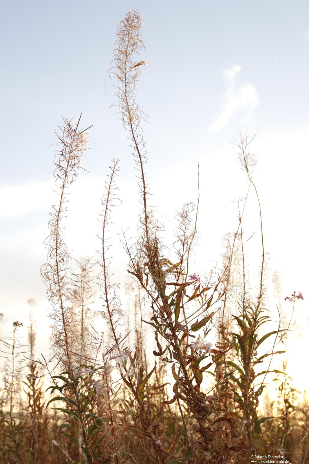 Schmalblättriges Weidenröschen 1