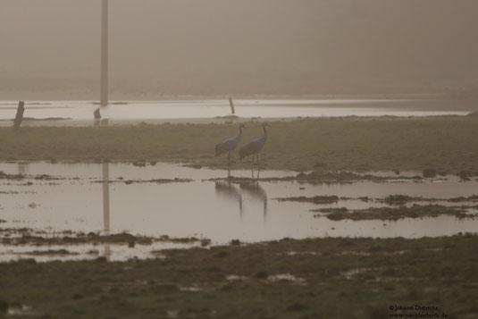 Kraniche im Morgenlicht auf der Sumpfwiese