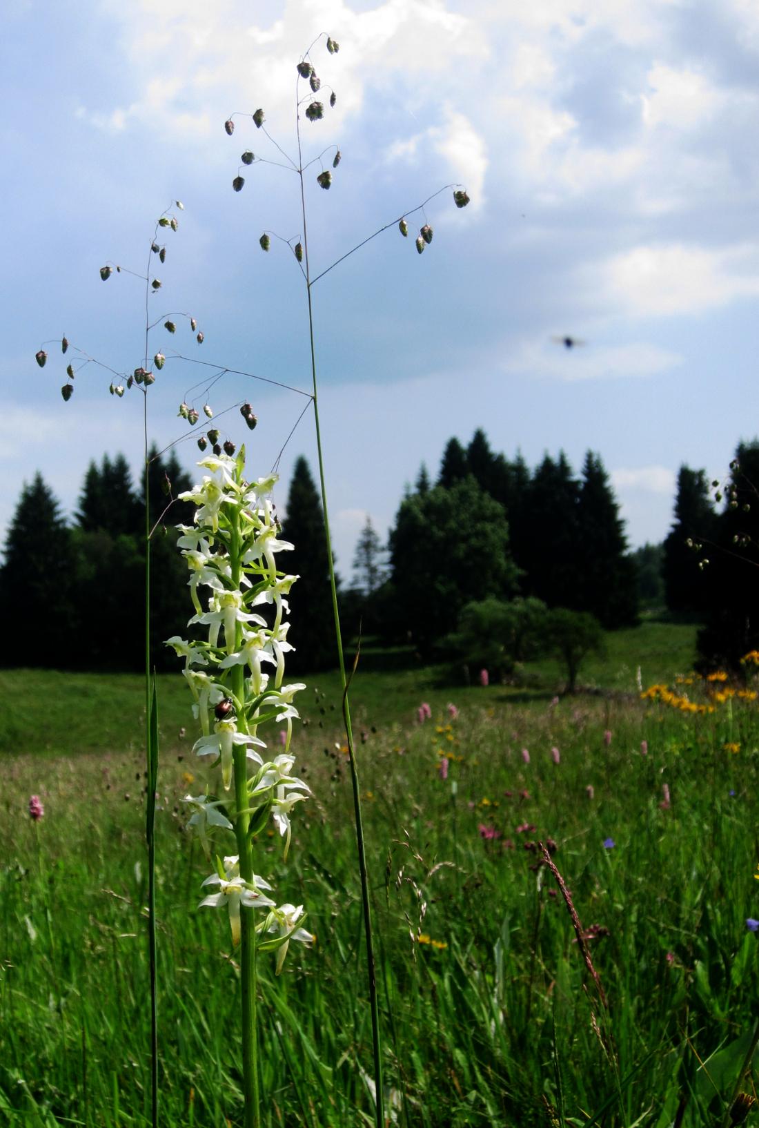 Berghyazinte (Orchidee)