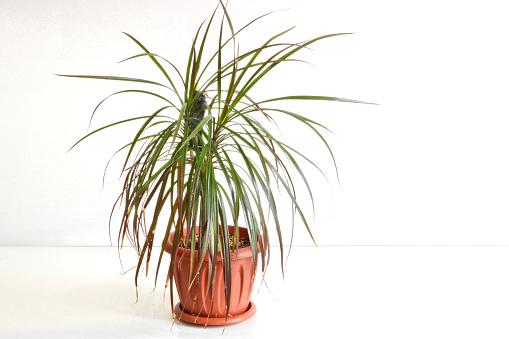 Drachenbaum oder Dracaena als Zimmerpflanze