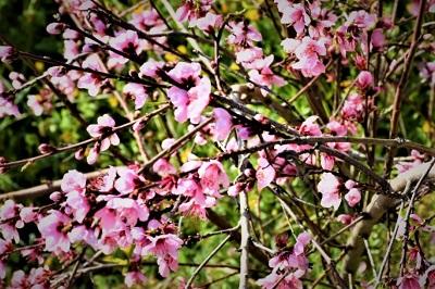 Mandelblüte Santiago del Teide, Teneriffa