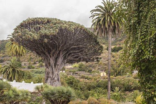 Drachenbaum im Parque del Drago Icod de los Vinos