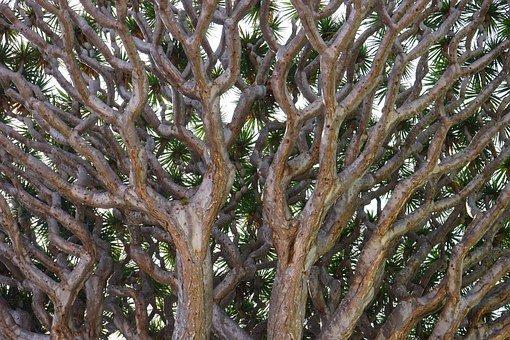 Drachenbaum in Icod de los Vinos
