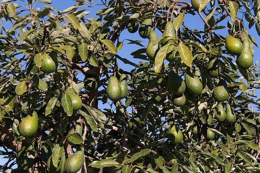 Avocados auf Teneriffa