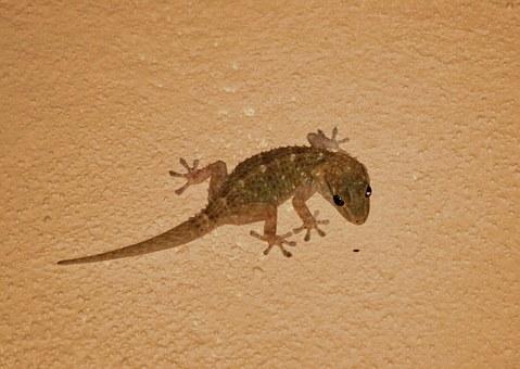 Teneriffa Tierwelt Glücksbringer Gecko
